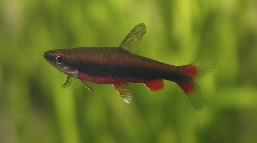 Thread: Dwarf Pencilfish